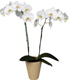 Orchid Phalaenopsis Plant