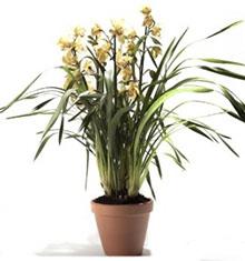 Orchid Cymbidium Plant