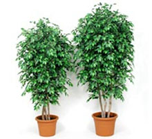 Artificial plant ficus green cm 175